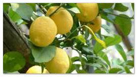 Лимоны на Сицилии