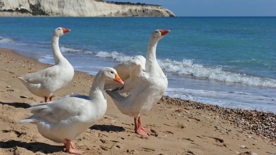 Гуси на берегу