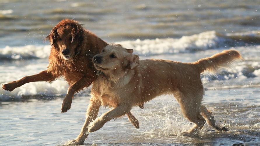 Собаки резвятся на пляже в июле.