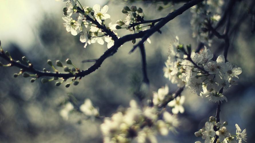 yabloni-v-cvetu