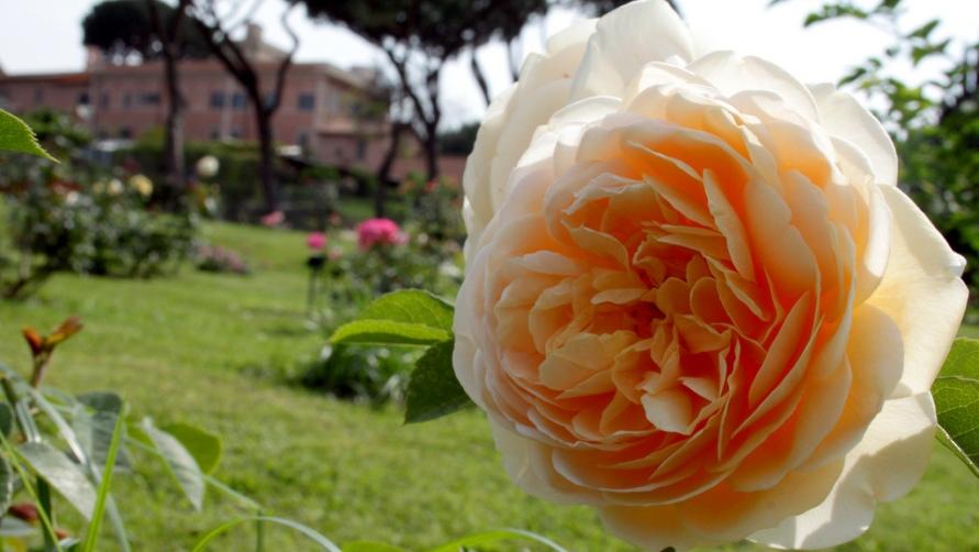 Роза вблизи